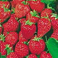 Strawberry_Torrey